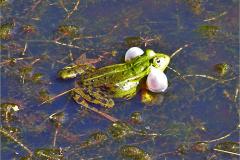 KIK_0007_groene kikker_pelophylax ridibundus