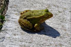 KIK_0010_groene kikker_pelophylax ridibundus