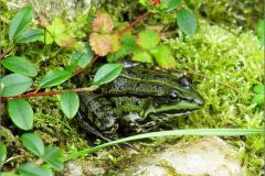 KIK_0011_groene kikker_pelophylax ridibundus