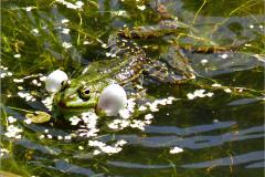 KIK_0012_groene kikker_pelophylax ridibundus