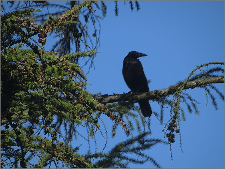 UC_VOG_0003_zwarte-kraai_corvus-corone