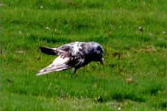 UB_VOG_0005_leucistische kauw_corvus monedula