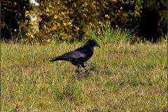 UC_VOG_0001_zwarte kraai_corvus corone