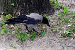 UD_VOG_0001_bonte kraai_corvus cornix