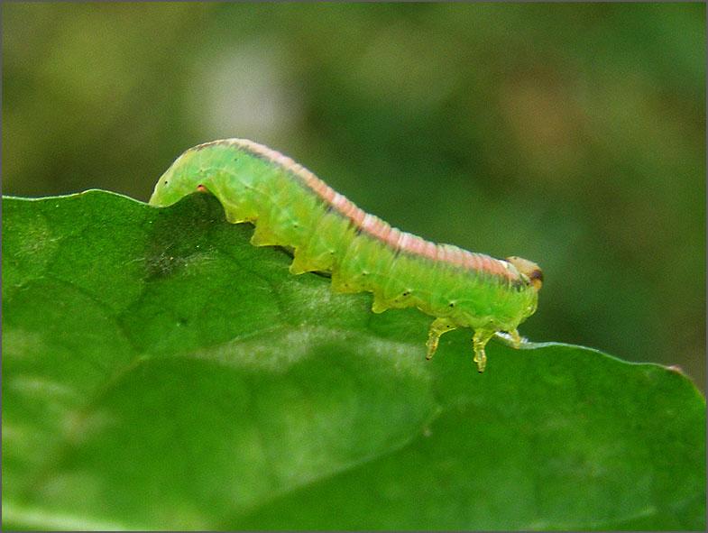 LRF_0012_bladwesp_tenthredinidae sp
