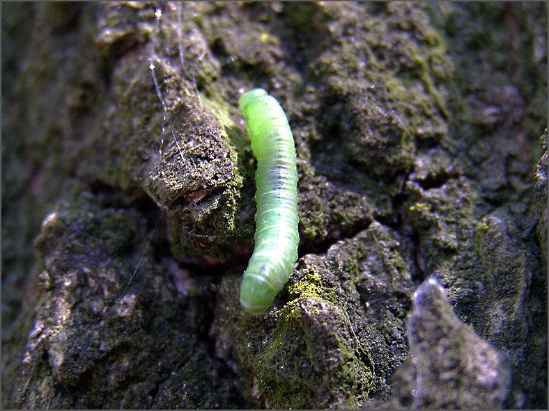 LRF_0040_bladwesp_tenthredinidae sp