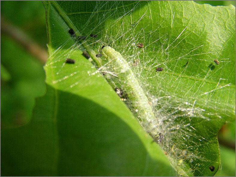 LRF_0047_bladwesp_tenthredinidae sp