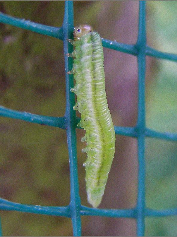 LRF_0049_bladwesp_tenthredinidae sp