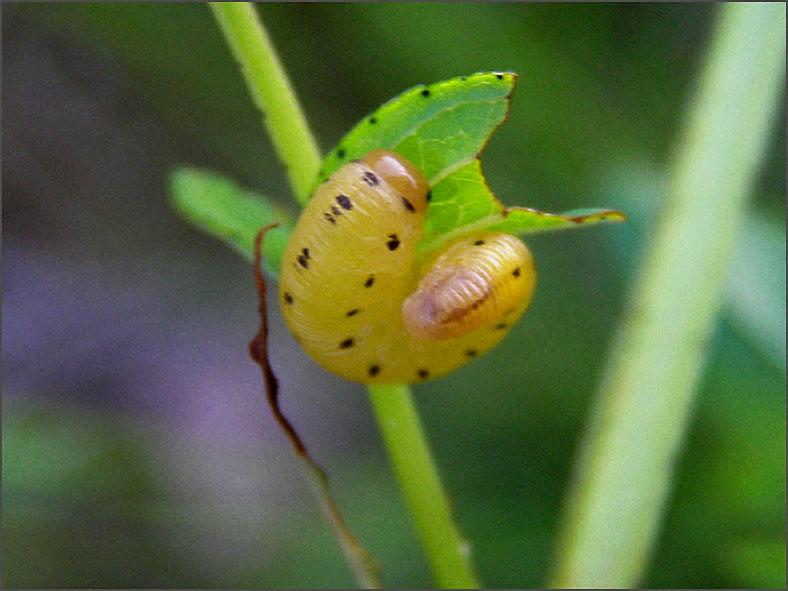 LRF_0054_bladwesp_tenthredinidae sp