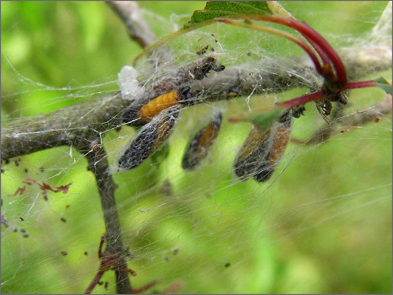LRF_0070_spinselmot_yponomeutidae sp