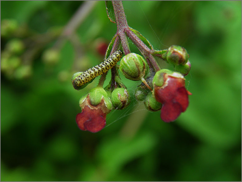 LRF_0078_bladwesp_tenthredinidae sp