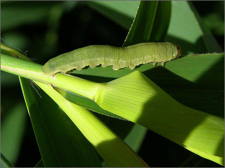 LRF_0080_bladwesp_tenthredinidae sp