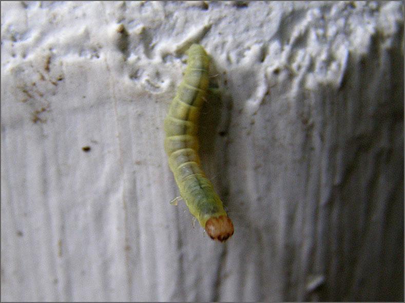 LRF_0081_bladwesp_tenthredinidae sp