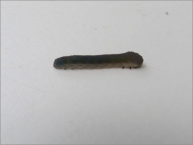 LRF_0086_bladwesp_tenthredinidae sp