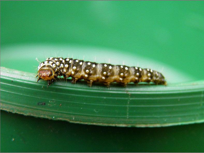 LRF_0189_bladwesp_tenthredinidae sp