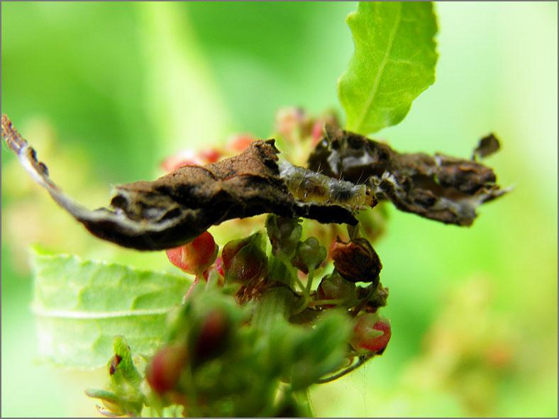LRF_0221_bladwesp_tenthredinidae sp