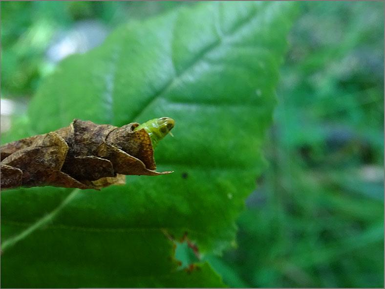 LRF_0225_bladwesp_tenthredinidae sp