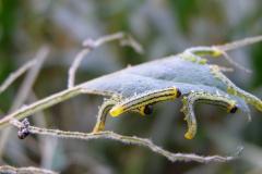 LRF_0076_bladwesp_tenthredinidae sp