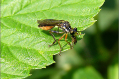 LVD_BLADWESP_0002_tenthredinidae sp_prooi
