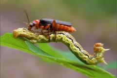 LVD_KEVER_0001_coleoptera sp_prooi