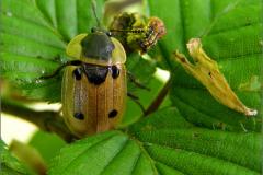 LVD_KEVER_0003_coleoptera sp_prooi