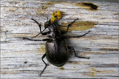 LVD_KEVER_0004_kleine poppenrover_calosoma inquisitor_prooi