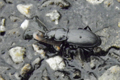 LVD_KEVER_0012_coleoptera sp_aas