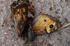 LVD_KEVER_0013_coleoptera sp_aas