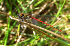 LVD_LIBEL_0002_odonata sp_prooi
