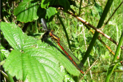 LVD_LIBEL_0004_odonata sp_prooi