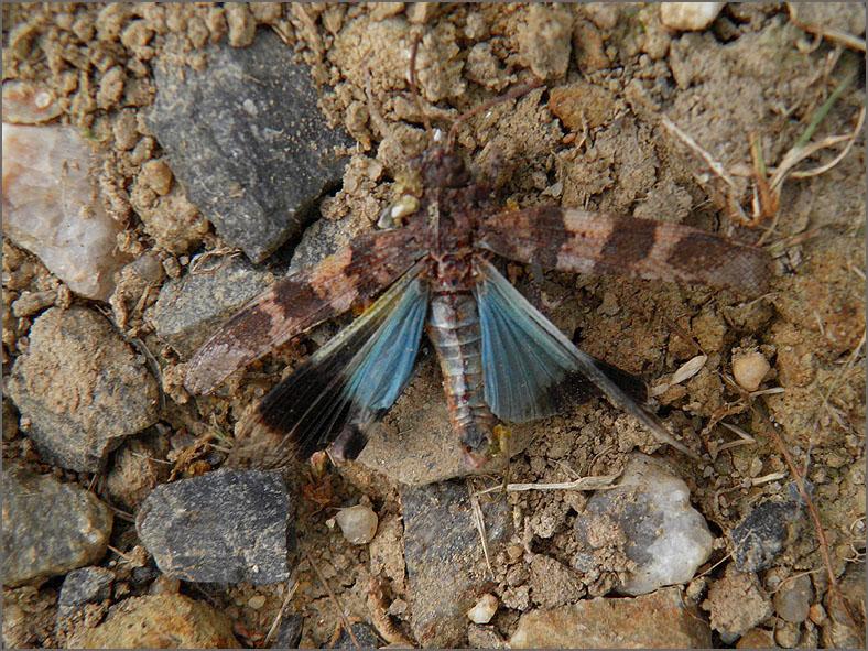 LVD_VERKEER_0057_trafic_blauwvleugelsprinkhaan_oedipoda caerulescens