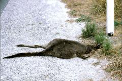 LVD_VERKEER_0001_trafic_kangoeroe_macropodidae sp