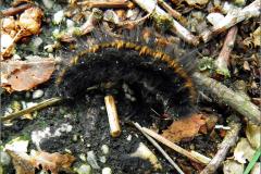 LVD_VERKEER_0019_trafic_veelvraat_macrothylacia rubi_larva