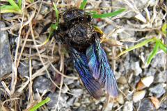 LVD_VERKEER_0040_trafic_blauwzwarte houtbij_xylocopa violacea