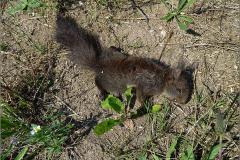 LVD_VERKEER_0062_trafic_ eekhoorn_sciurus vulgaris