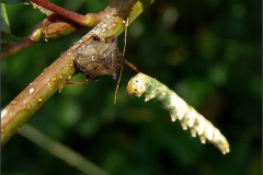 LVD_WANTS_0001_heteroptera sp_prooi_larva