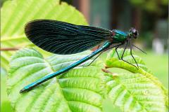 A_JUF_BKJ_0001_bosbeekjuffer_♂_calopteryx virgo