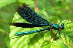 A_JUF_BKJ_0002_bosbeekjuffer_♂_calopteryx virgo