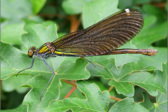 A_JUF_BKJ_0005_bosbeekjuffer_♀_calopteryx virgo