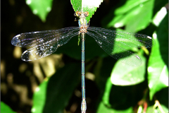 A_JUF_PJ_0005_houtpantserjuffer_lestes viridis