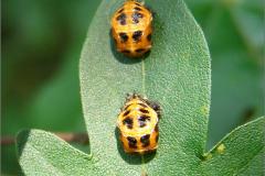 I_LAR_POP_0006_coccinellidae sp