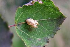 I_LAR_POP_0011_coccinellidae sp