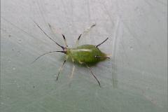 LUI_0014_bladluis_aphidoidea sp
