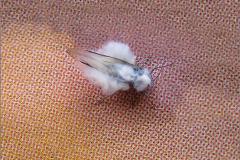 LUI_0015_wolluis_pseudococcidae sp