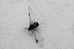 LUI_0021_bladluis met vleugels_aphidoide sp