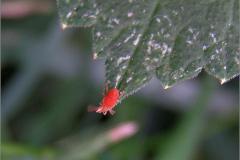 LUI_0025_rode mijt_trombiculidae sp