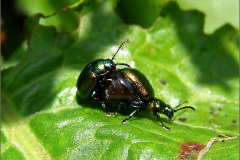 PAR_KEV_0002_kevers_coleoptera sp