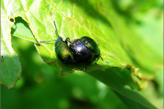 PAR_KEV_0003_kevers_coleoptera sp
