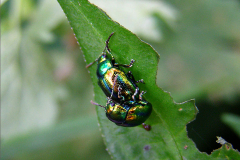 PAR_KEV_0004_kevers_coleoptera sp