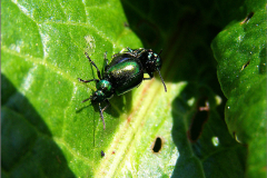 PAR_KEV_0005_kevers_coleoptera sp